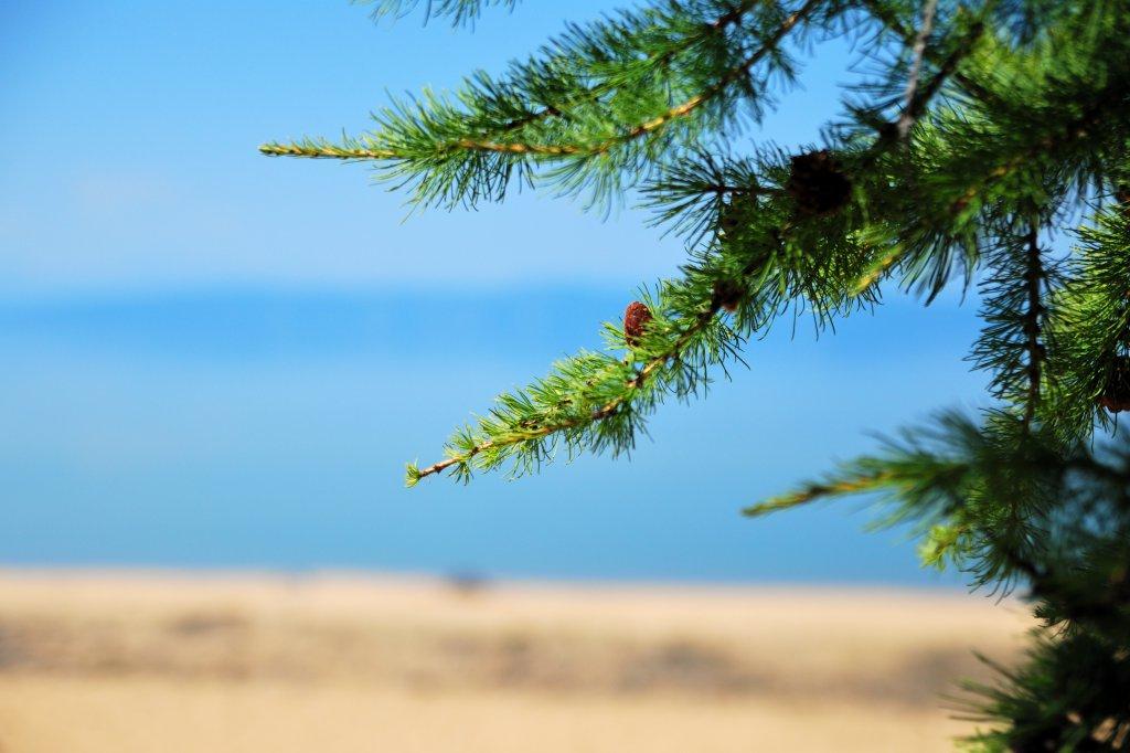 Хубсугул. Песок и Лиственницы